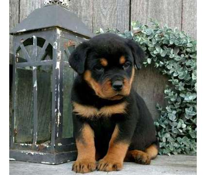 FVV. Male And Females Rottweiler Puppies is a Female, Male Rottweiler For Sale in Vancouver BC