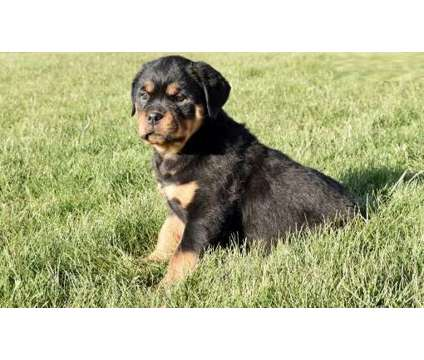 DCV. Male And Females Rottweiler Puppies is a Female, Male Rottweiler For Sale in Abbotsford BC