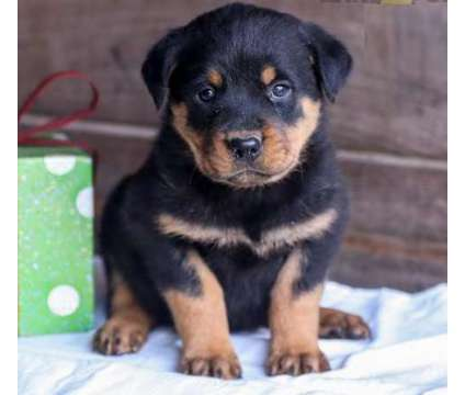 AFRR. Male And Females Rottweiler Puppies is a Female, Male Rottweiler For Sale in St. John'S NL