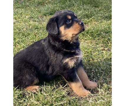 UZZ. Male And Females Rottweiler Puppies is a Female, Male Rottweiler For Sale in Halifax NS