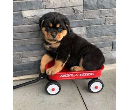 LDT. Male And Females Rottweiler Puppies is a Female, Male Rottweiler For Sale in Iqaluit NU