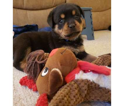 DIOB. Male And Females Rottweiler Puppies is a Female, Male Rottweiler For Sale in Montreal QC
