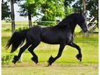 Purebred Friesian Stallion for Stud