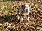 Bulldog Puppy for sale in Athens, GA, USA