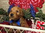 Goldendoodle Puppy for sale in Springfield, MO, USA