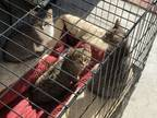 Adopt Three Little Boys (courtesy Listing) A Domestic Short Hair