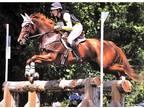 17h Chestnut TB Mare Sells w breeding to Perlino Czech WB Stallion
