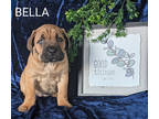 Cane Corso Puppy for sale in Gap, PA, USA