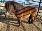 Adopt Xander a Black Miniature / Pony - Other / Mixed horse in McKinney
