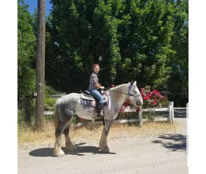 Dapple Grey Shire Horse is a Grey Female Shire in Reno NV