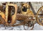 Bullmastiff Puppy for sale in Houston, TX, USA
