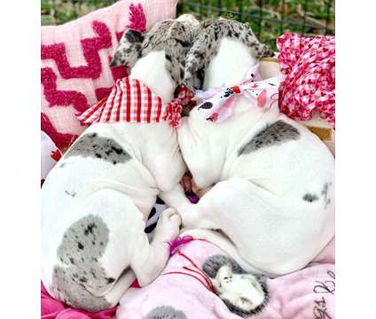 Sansa Males And Females Great Dane Puppies,Available is a Female, Male Great Dane For Sale in Oshawa ON