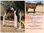 Dressage Ranching jumping Arabian mare