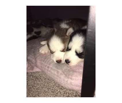 akc siberian husky puppies is a Black, White Female Siberian Husky Puppy For Sale in Lincoln IL