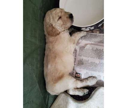 Goldendoodle pups for sale is a Male Goldendoodle Puppy For Sale in Williamsfield IL