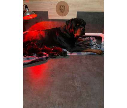 Rottweiler puppies is a Female Rottweiler Puppy For Sale in Tulsa OK