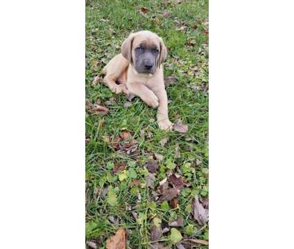 fhfdhfddhcane corso Puppies for sale is a Female, Male For Sale in Whitevale ON