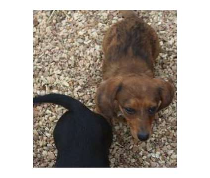 gfdbgfdhf dachshound Puppies For Sale is a Female, Male For Sale in Whitevale ON