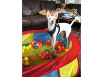 fvbgvfb ibizan hound PUPPIES for sale