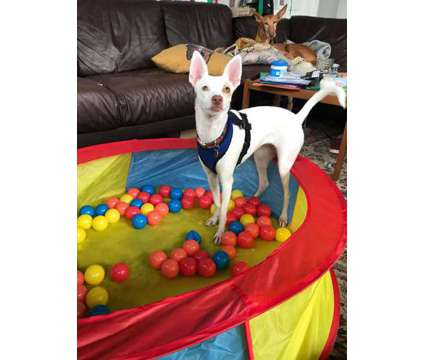 fvbgvfb ibizan hound PUPPIES for sale is a Female, Male Ibizan Hound For Sale in Whitevale ON