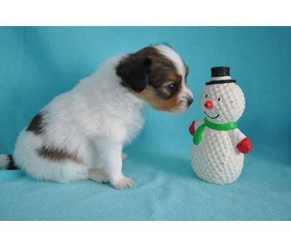 Papillon Puppy Akc Dutch is a Male Papillon Puppy For Sale in New Haven MI