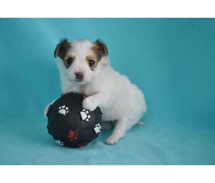 Papillon Puppy Akc Faith is a Female Papillon Puppy For Sale in New Haven MI