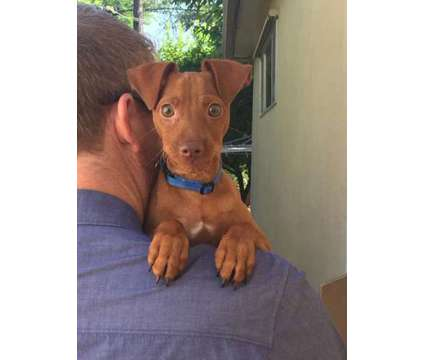 fbcgng harlequin pinscher for sale is a Female, Male Harlequin Pinscher For Sale in Whitevale ON