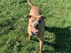 Adopt WILEY A BrownChocolate Labrador Retriever  Mixed Dog In Ocala FL 30616698  Spayedneutered