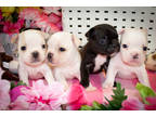 4 Pups Avail
