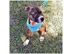 Zoey, Bull Terrier For Adoption In Tavares, Florida