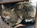 Adopt KEEBO A Brown Tabby Domestic Shorthair / Mixed (short Coat) Cat In