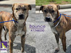 Adopt BOUNCE a Brindle - with White Labrador Retriever / Mixed dog in Houston
