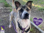 Adopt PLUMERIA a Tricolor (Tan/Brown & Black & White) German Shepherd Dog /