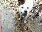 Adopt Dolly a Carolina Dog