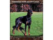 Doberman puppies and stud services