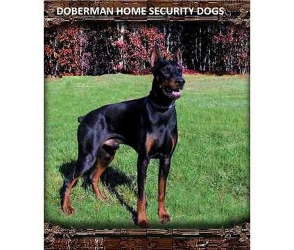 Doberman puppies and stud services is a Male Doberman Pinscher For Sale in Grand Rapids MI