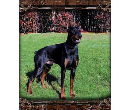 Doberman Stud Service is a Other Pet Services service in Grand Rapids MI