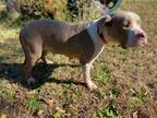 Adopt Lovelee a Tan/Yellow/Fawn - with White Staffordshire Bull Terrier / Boxer