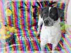Adopt Malcom a Dalmatian