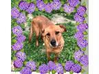 Adopt Angel a Tan/Yellow/Fawn Shepherd (Unknown Type) / Carolina Dog / Mixed dog