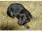 German Shepherd Dog Puppy for sale in Westcliffe, CO, USA