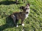 Adopt Dora a Catahoula Leopard Dog, Mountain Cur