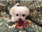 Maltese Puppy for sale in Puyallup, WA, USA