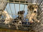 Adopt APPS CLOSED - Calling on 4/11 & 4/12 a Australian Shepherd, Beagle
