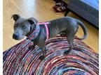 Adopt Daisy a Weimaraner, Labrador Retriever