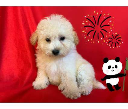 Super Adorable Maltese Mixed Pups is a Male Malti-Poo Puppy For Sale in San Francisco CA