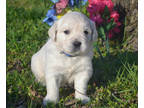 Labrador Retriever Puppy for sale in Walnut Grove, MO, USA