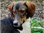 Adopt MONTEREY JACK (Middle East) a Brindle - with White Pointer / Saluki dog in
