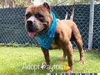 Adopt PAYTON a Brown/Chocolate Mastiff / Mixed dog in West Palm Beach