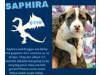 Adopt Saphira a Tricolor (Tan/Brown & Black & White) Akita / Pit Bull Terrier /
